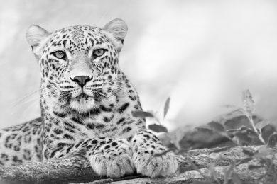 Luipaard (zwart-wit)